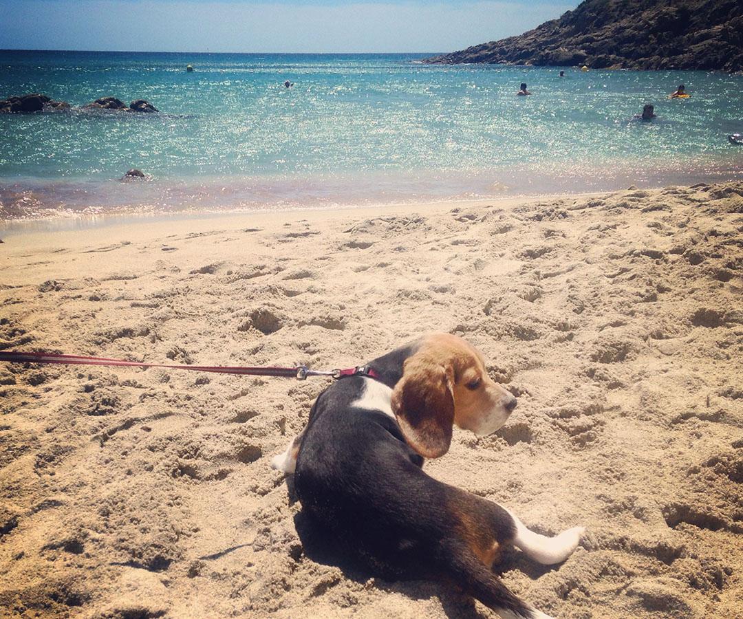 Madame chien beagle plage escalet ramatuelle